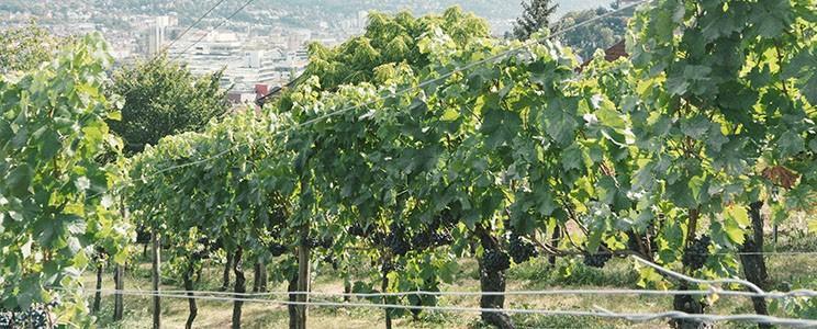 Weingut der Stadt Stuttgart: Schwäbischer Landwein