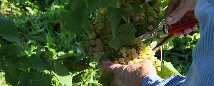 Winzerverein Deidesheim: Weißwein