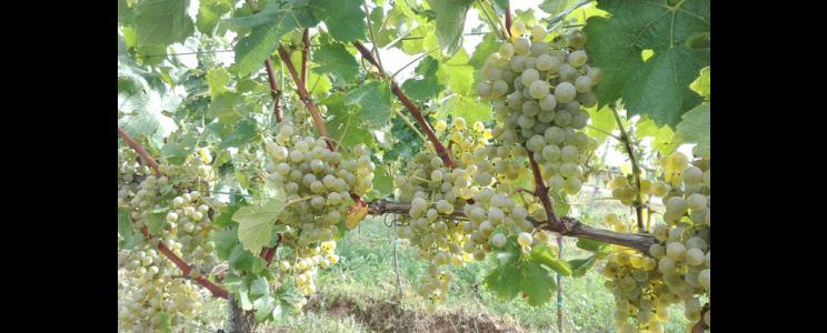 Weingut Goswin Kranz: Weißwein