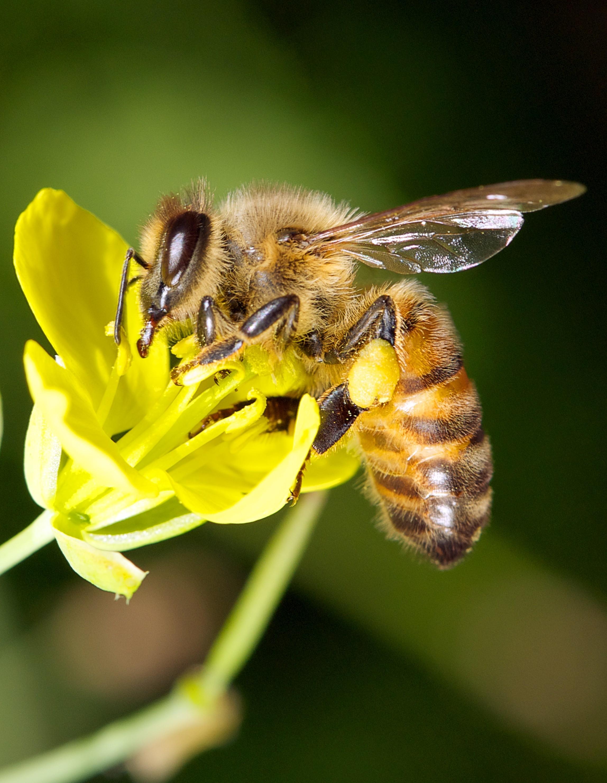 Biene auf einer Bienenweide